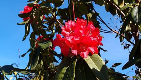 紐西蘭石楠花