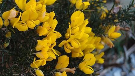 金雀花 (1)