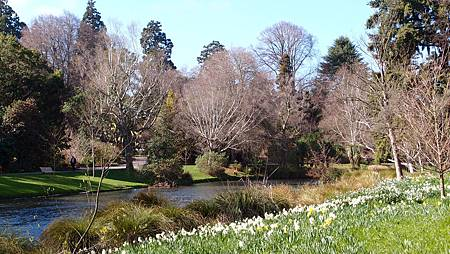 紐西蘭黃水仙 (1)
