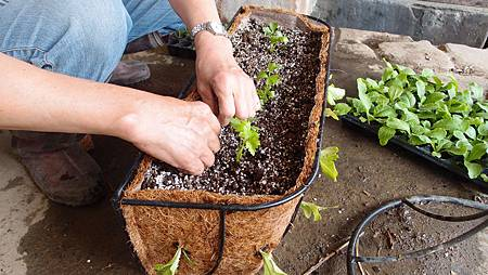 15依序種入菜苗,間隔10-15公分,以利後續生長40-78