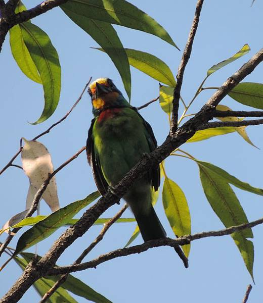 五色鳥DSCN8233