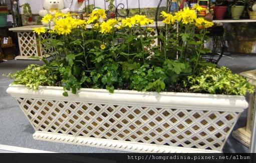 235494 黃色瑪格莉特 常春藤 霹靂  正拍-small.jpg