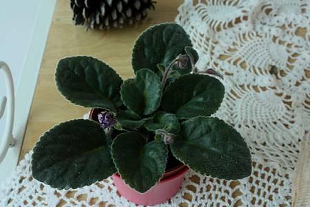 非洲菫花苞 0530-BL.jpg