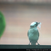 陽台鳥 0530-1-BL.jpg