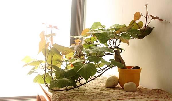 70-02 水耕地瓜 窗邊側寫 0525-4-BL.jpg