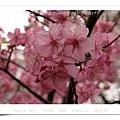 Cherry Blooming _ Sinjyuku Gyoen