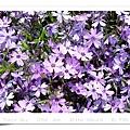 稀少的紫色種