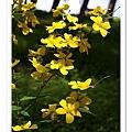回程途中的黃色櫻花
