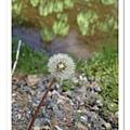 這邊的什麼花都是滿山滿谷的,連蒲公英也是。