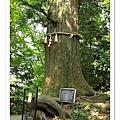傳說中的章魚樹