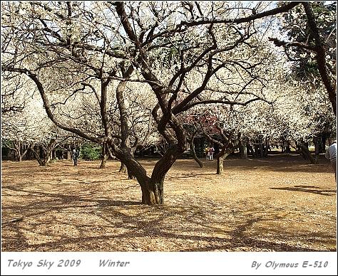 20090216 梅花盛開
