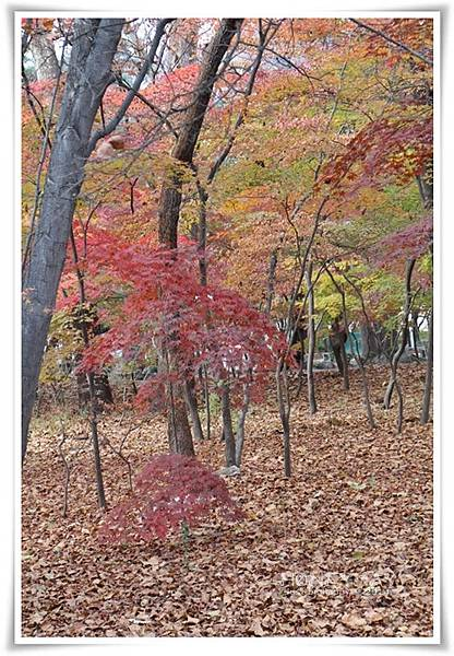 IMG_8268韓國慶熙大學賞楓.JPG