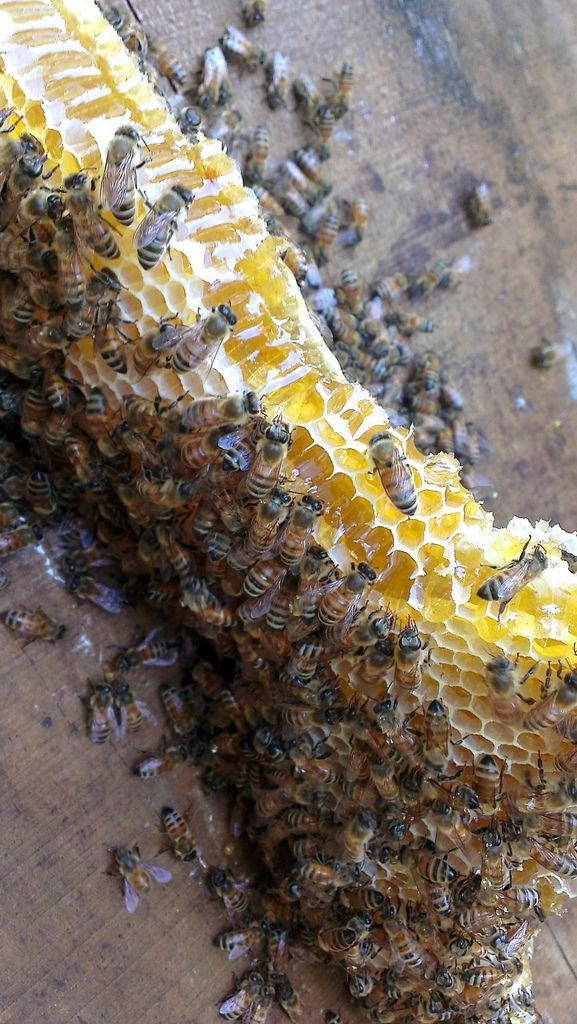 小蜜蜂們瘋狂的吸食著蜂蜜