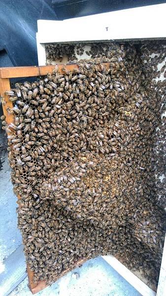 滿出來的贅脾,代表蜂群太過旺盛。.jpg