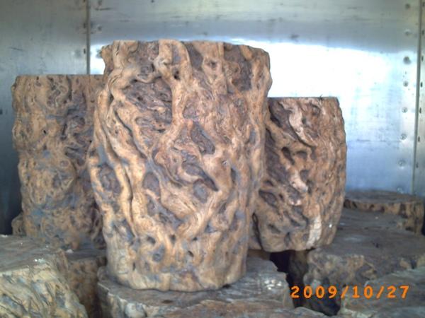 棗樹樹瘤4.jpg