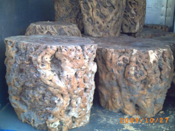 棗樹樹瘤5.jpg