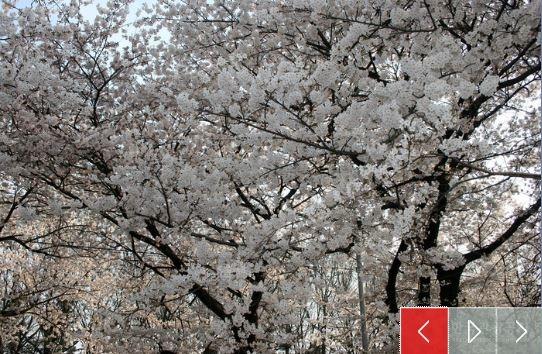 汝夷島櫻花2.jpg