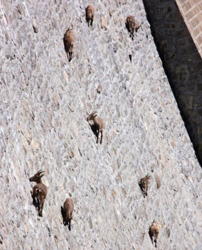 Spider-Goats-1.jpg