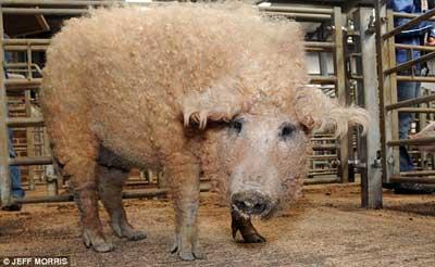wooled-pig-1.jpg