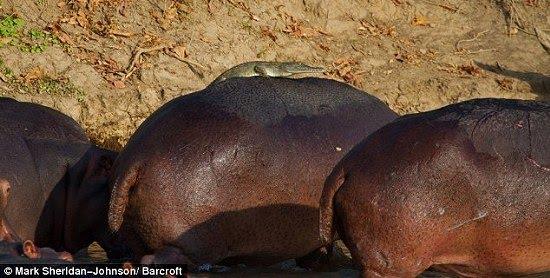 croc-on-hippo-2.jpg