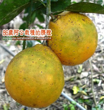 SHOW阿公栽種的臍橙85  02.jpg
