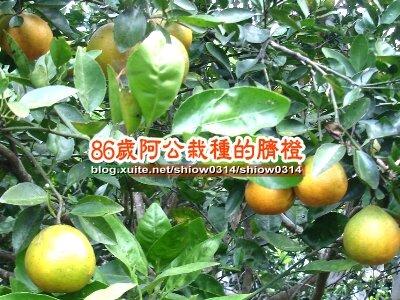 SHOW阿公栽種的臍橙85  03.jpg