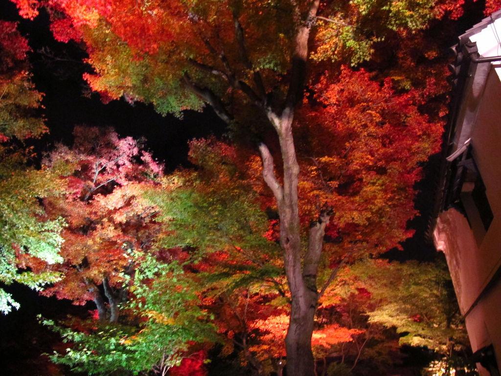 京都高台寺夜楓2