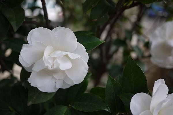白色的山茶花