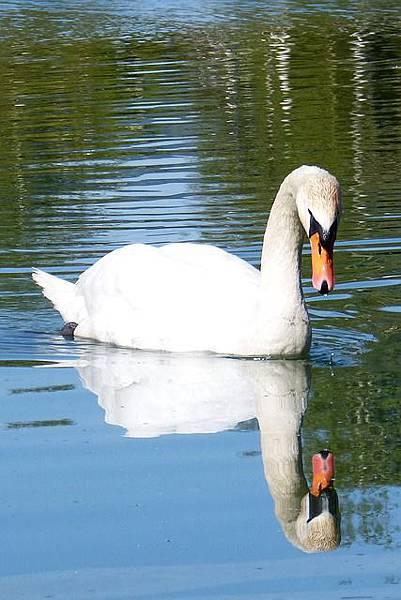 swan-338712_640