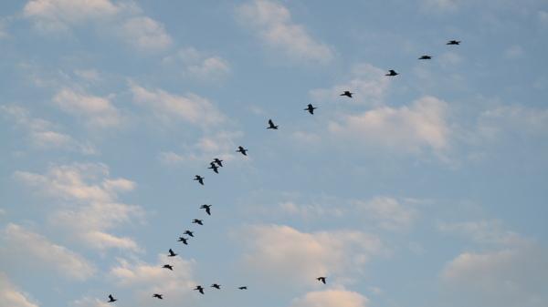 意外拍到的候鳥過境