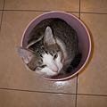 桶裝貓之一