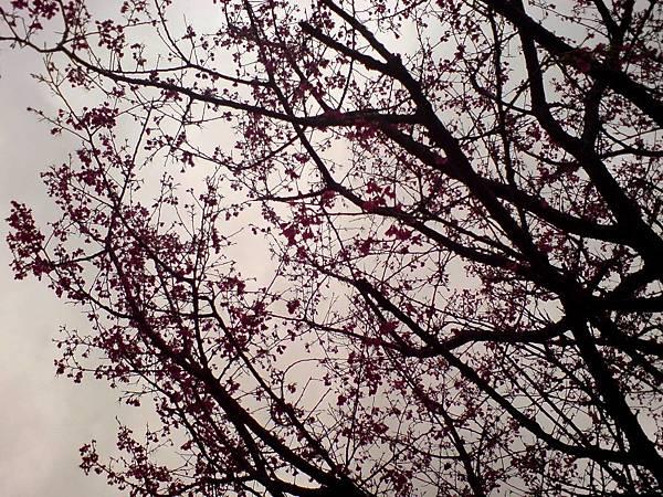 櫻花III
