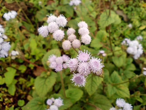 不知名的紫花