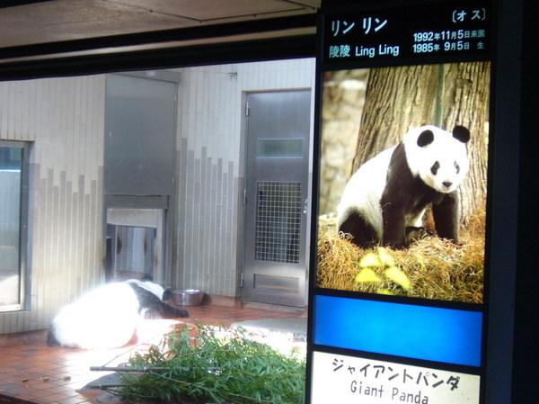 這是一隻25歲老熊貓了
