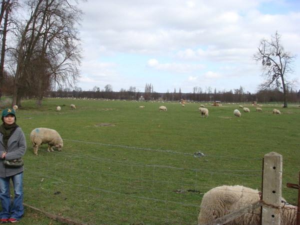 天阿!凡爾賽宮有綿羊