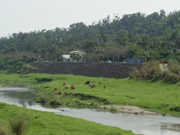 美崙溪畔可牧牛