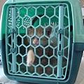 關進貓籠要出門
