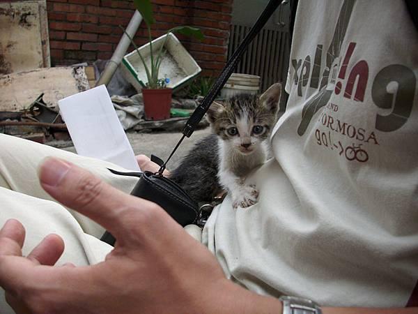 鳳山城裡遇到不怕人小貓