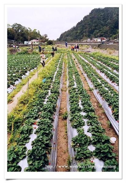 大湖滿田紅草莓園