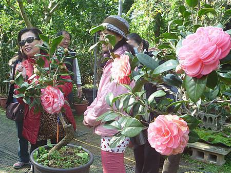 湧椿茶花園免費開放賞花