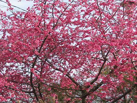 大雪山櫻花綻放美景民眾春節賞花好去處