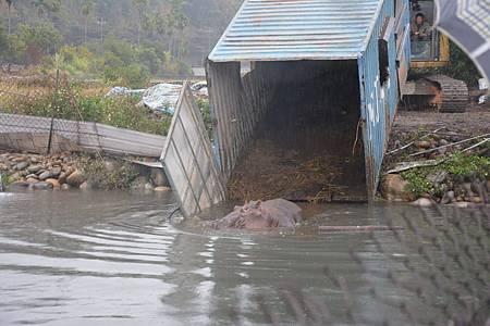 河馬「阿河」重回水中開心游泳狀況不錯