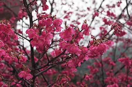 緋紅山櫻花