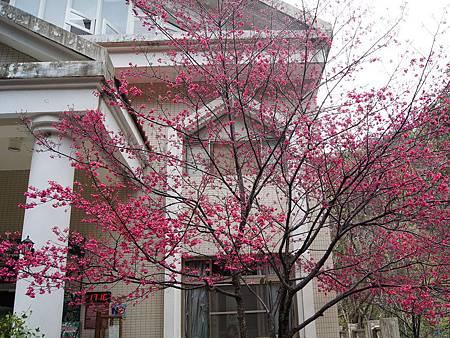 八仙山森林遊樂區櫻花綻放賞花賞鳥兼具