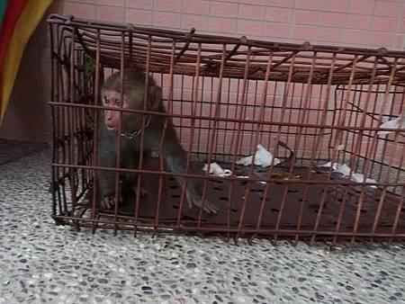 潑猴闖入民宅