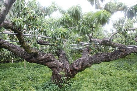 老桃樹2B