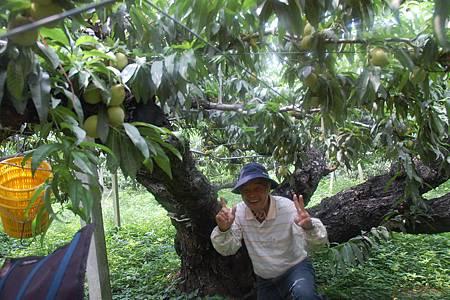 涂金武桃樹1B
