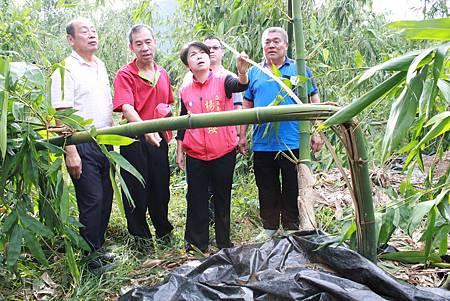 杜鵑颱風摧殘潭子區椪柑、竹筍受損嚴重