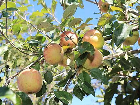 梨山蜜蘋果進入採收期質優價俏