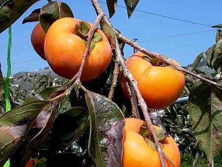 甜柿採收期防竊警方與柿農齊巡護